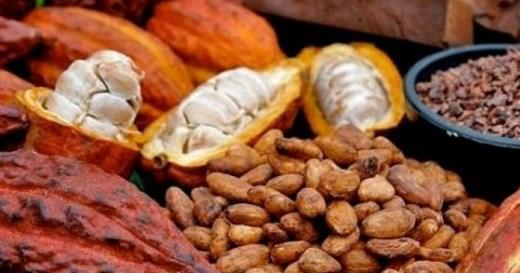 Ciri Biji Kakao Yang Baik